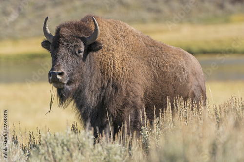 American Bison on the Plains