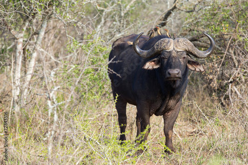 african buffalo in the bush