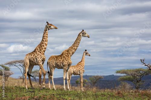 Foto op Plexiglas Giraffe giraffes in game reserve
