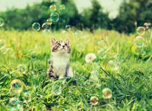 Kitten Looking At Soap Bubbles In Summer
