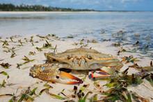 Large Swimming Crab On The Beach, Zanzibar Island