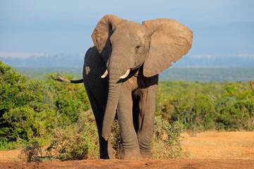 Fototapeta African elephant, Addo Elephant National Park