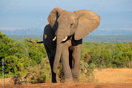 Foto op Canvas Olifant African elephant, Addo Elephant National Park