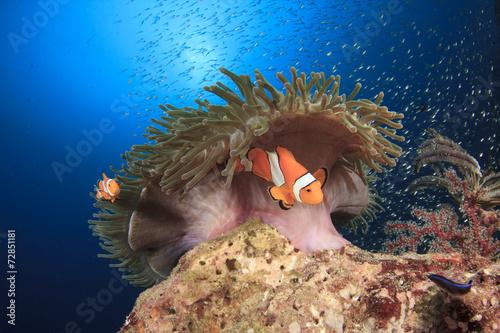 Fotografie, Obraz  Klauni (Nemo ryby) a sasanky