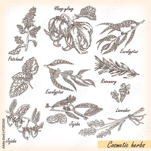 Fotografie, Obraz  Hand drawn cosmetic herbs. Plant patchouli, jojoba, eucalyptus,