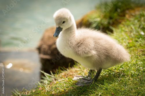 Poster Cygne Cute Baby Swan