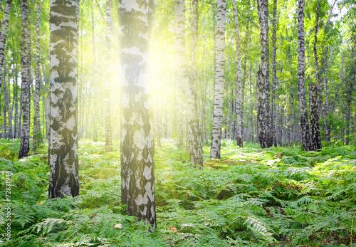 letnie-lasy-brzozowe-ze-sloncem