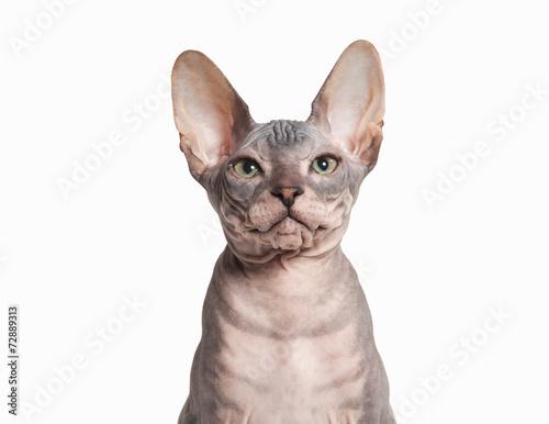 Cat  Don sphynx kitten on white background - Buy this stock