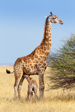 Adult Female Giraffe With Calf...
