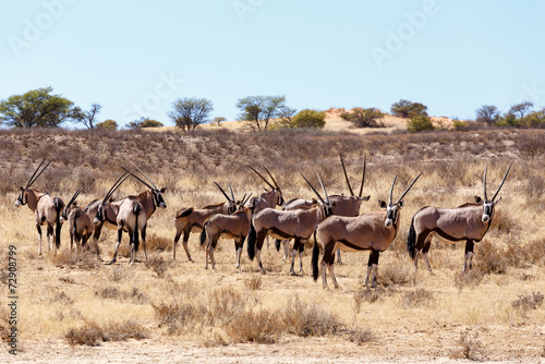 Poster Antilope Gemsbok, Oryx gazella on sand dune