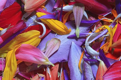 Deurstickers Paradijsvogel The natural texture of multicolored flower petals, colorful