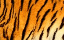 Bengal Tiger Skin.