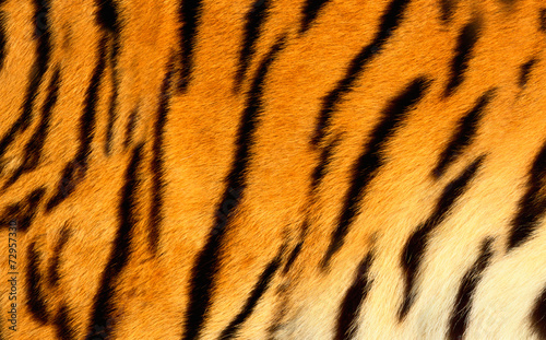 Photo sur Toile Tigre Bengal tiger skin.