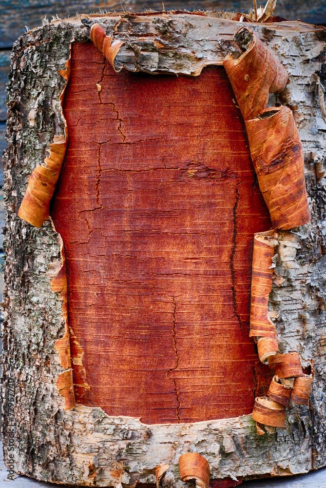 closeup of the bark a birch tree