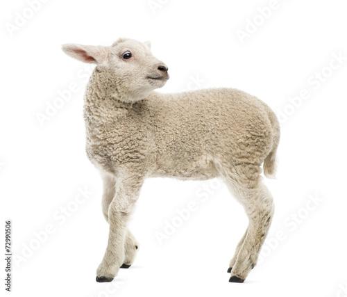 Fotobehang Schapen Lamb (8 weeks old) isolated on white