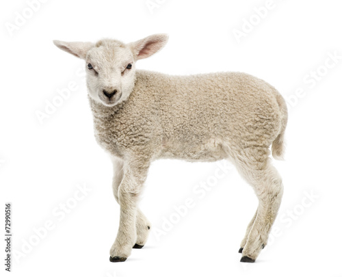 Leinwand Poster Lamb (8 weeks old) isolated on white
