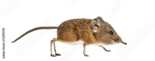 Fototapeta Elephant shrew - Macroscelides proboscideus - isolated on whitre