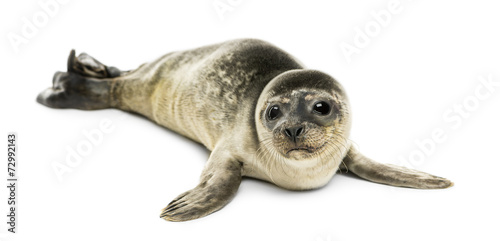 Leinwand Poster Common seal pup, isolated on white