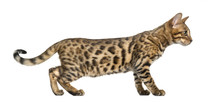 Young Bengal Cat (5 Months Old...