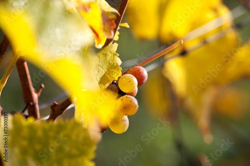 Papiers peints Jaune Vigne et raisin du layon