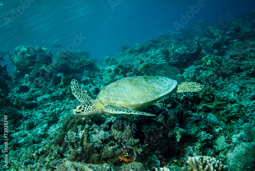In de dag Koraalriffen Green sea turtle swimming in Derawan, Kalimantan underwater