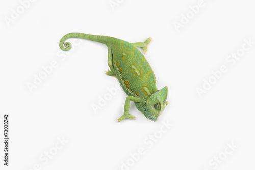 Staande foto Kameleon A little chameleon in a studio (isolated on white)