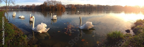 Poster Cygne Panoramic view of the swan