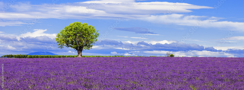 Fototapety, obrazy: Panoramic view of lavender field with tree