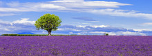 Panoramic View Of Lavender Fie...