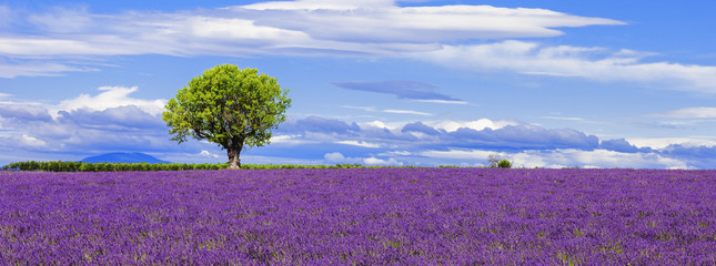Panel Szklany Lawenda Panoramic view of lavender field with tree