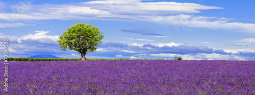 Foto op Canvas Snoeien Panoramic view of lavender field with tree