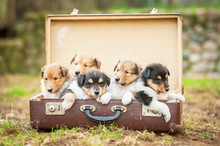 Five Rough Collie  Puppies Sitting In The Suitcase