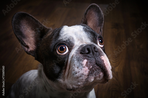 Poster Bouledogue français French bulldog portrait in dark room