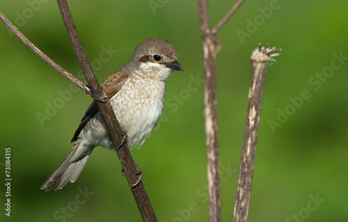 Fotobehang Vogel Red-backed Shrike female