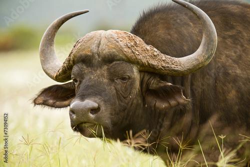 Spoed Foto op Canvas Buffel Buffalo stare
