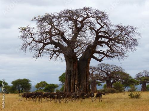 Staande foto Baobab Straußen-Herde unter einem Affenbrotbaum Tarangire Tansania