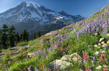 Wildflowers Of The Cascades