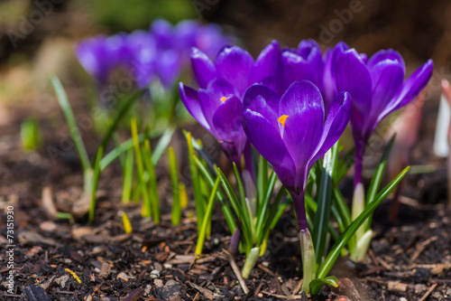 Cadres-photo bureau Crocus Spring Crocus