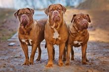 Three Dogue De Bordeaux Dogs T...