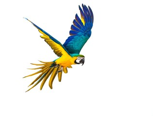 Fototapeta Colourful flying parrot isolated on white