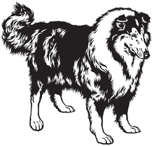 Rough Collie Black White