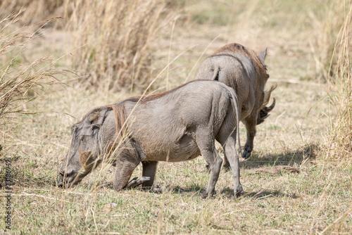 Photo  Central African warthog