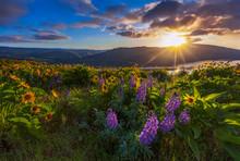 Beautiful Widflower In Sunrise, Columbia River Gorge, Oregon