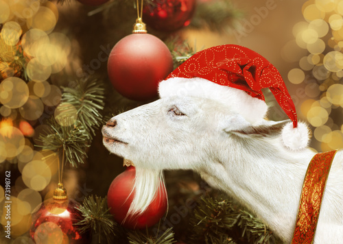 Poster  White goat holding in santa claus hat
