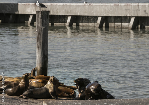 Poster Genuine Wild California sea lions lounge in the sun on docks