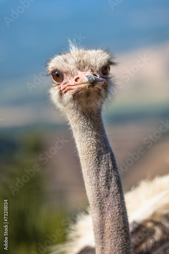 Staande foto Struisvogel Potrait of an African Ostrich in Natural Environment