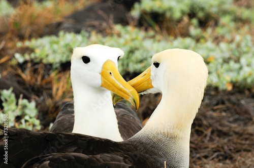 Obraz na plátně  waved albatross