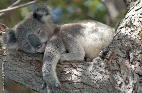 Spoed Foto op Canvas Koala Koala asleep in tree