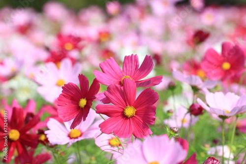 In de dag Candy roze Cosmos flowers