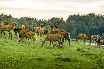 FototapetaA herd of deer in the wet meadow